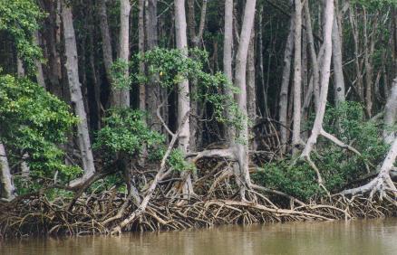 Manguezal do Delta do Parnaiba